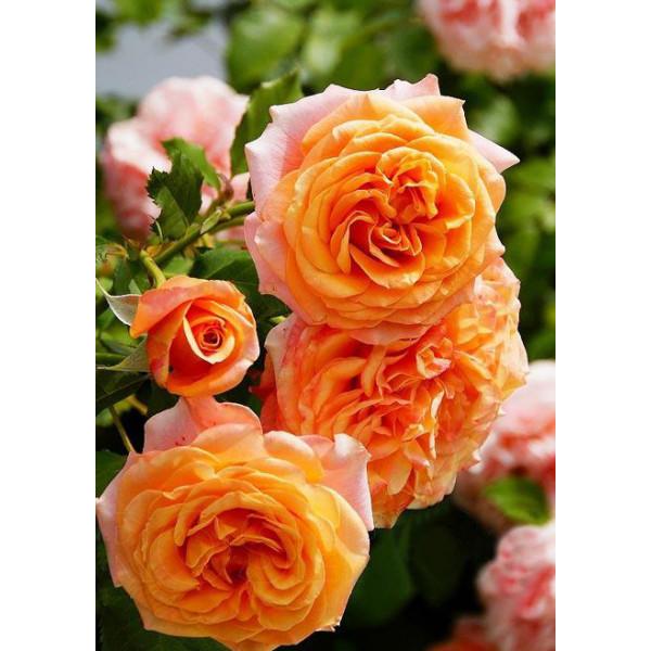 Роза флорибунда Ла Вилла Кота